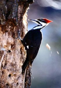 Morning Woodpecker